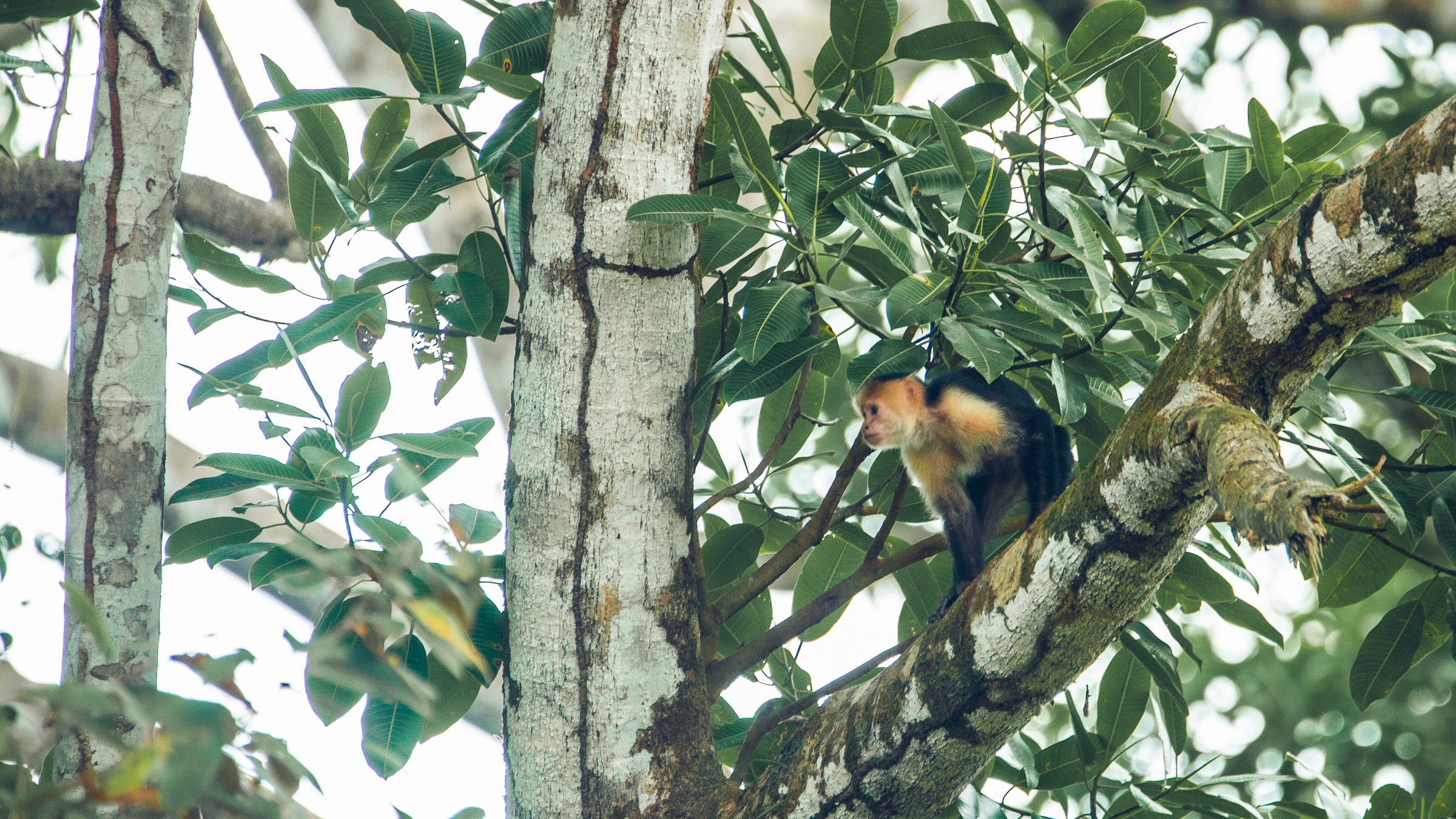 Costa Rican capuchin monkey perched in a tree