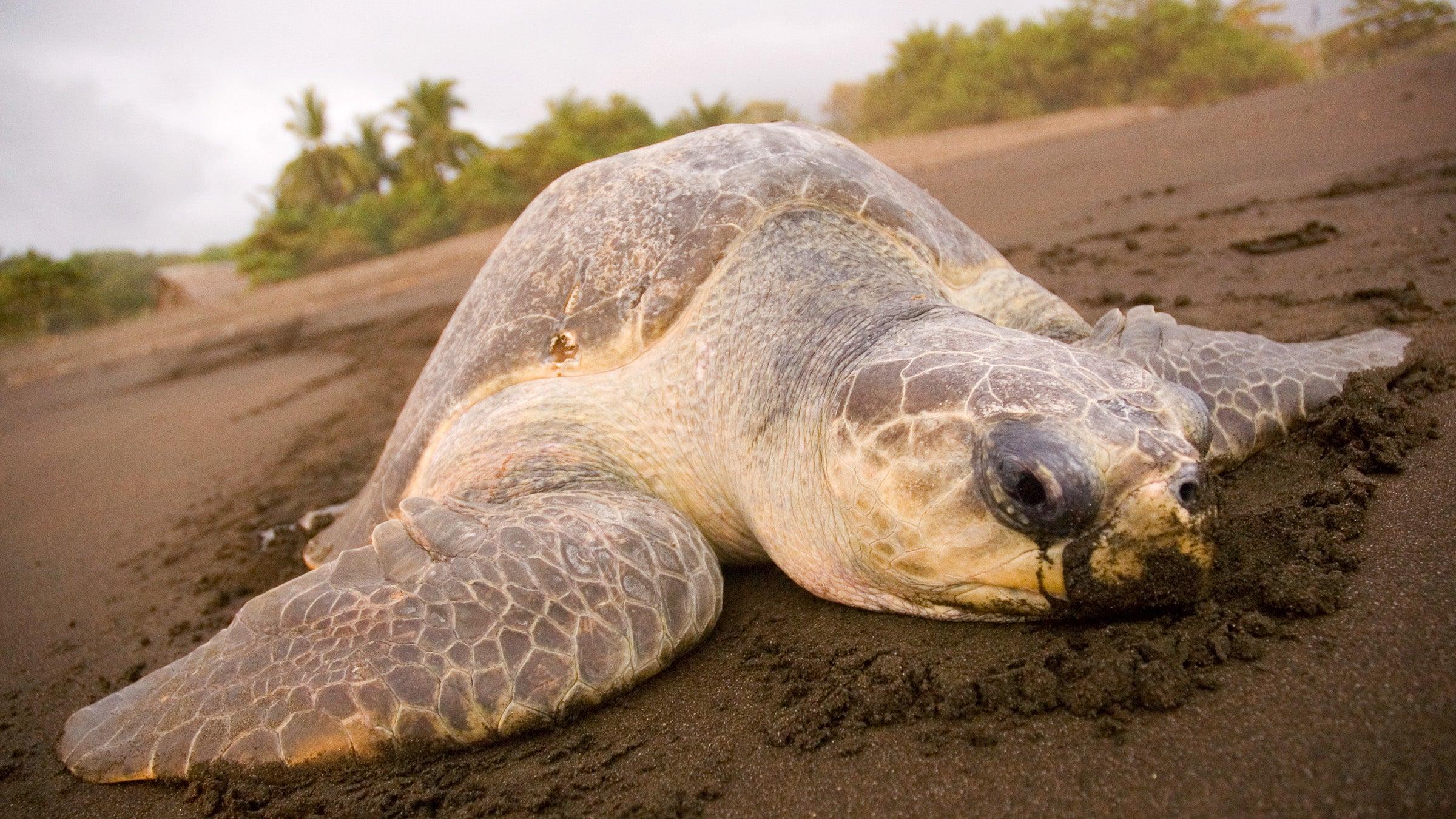 Sea turtle on a Costa Rican beach