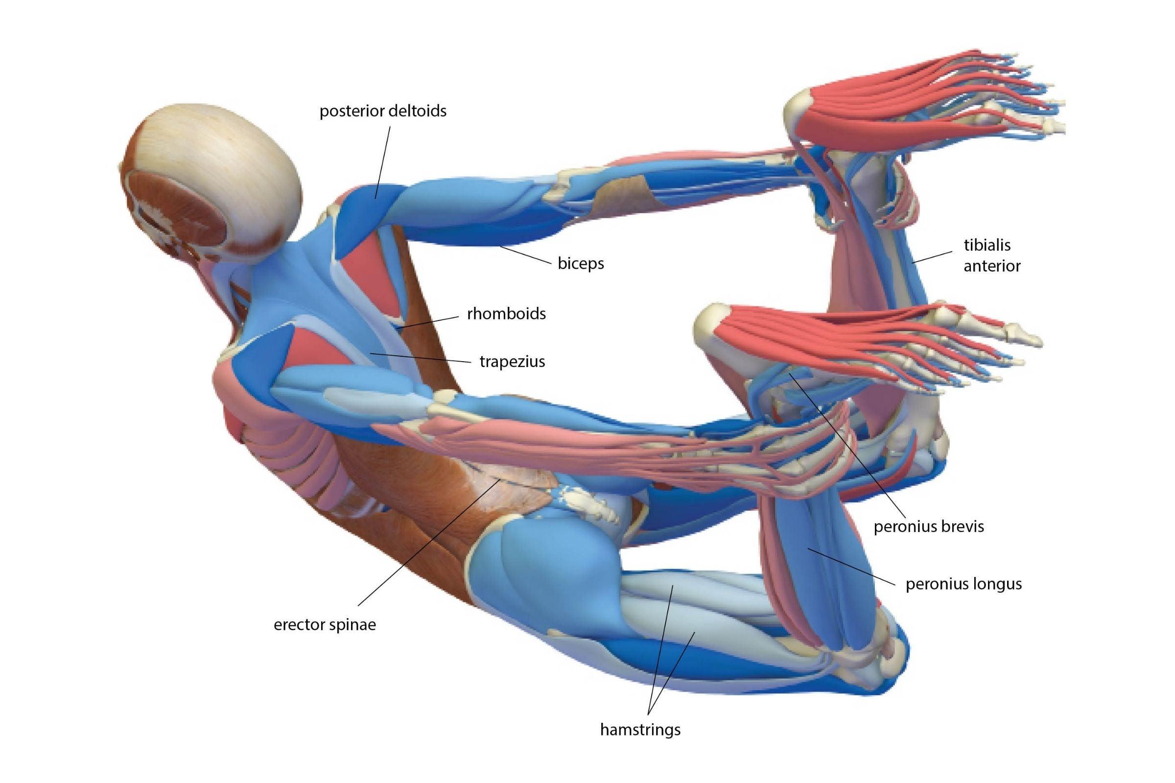 An anatomy illustration of the body in Bow Pose (Dhanurasana)