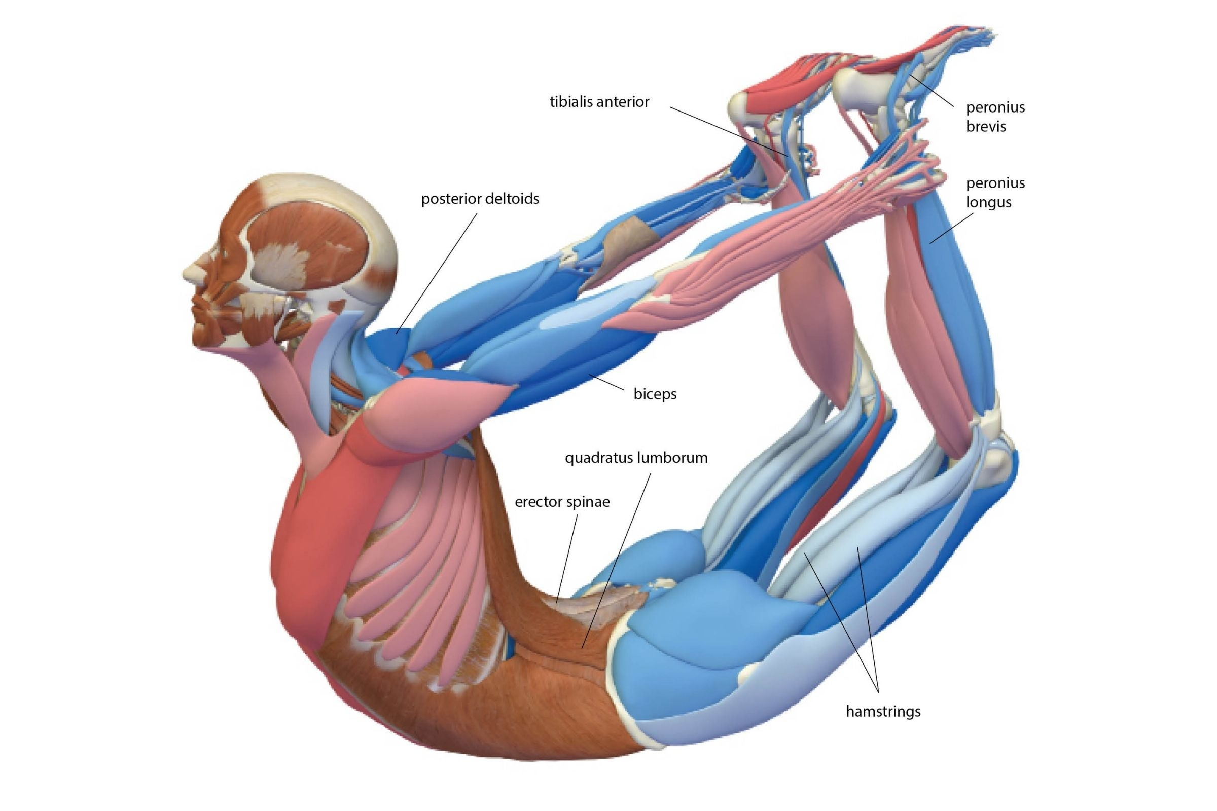 An anatomy drawing of Bow Pose (Dhanurasana)